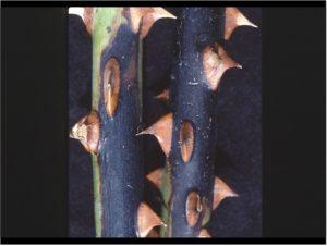 ziedu-bakterioze