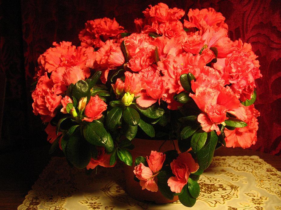Gėlės Azalijos ligos, kenkėjai