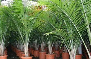 kokospalmes-lapines-geles