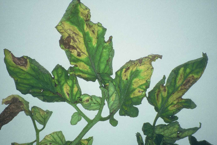 VYTULYS – gėlių liga