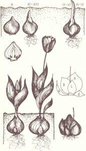 1 pav. Tulpių auginimas ir vystymasis