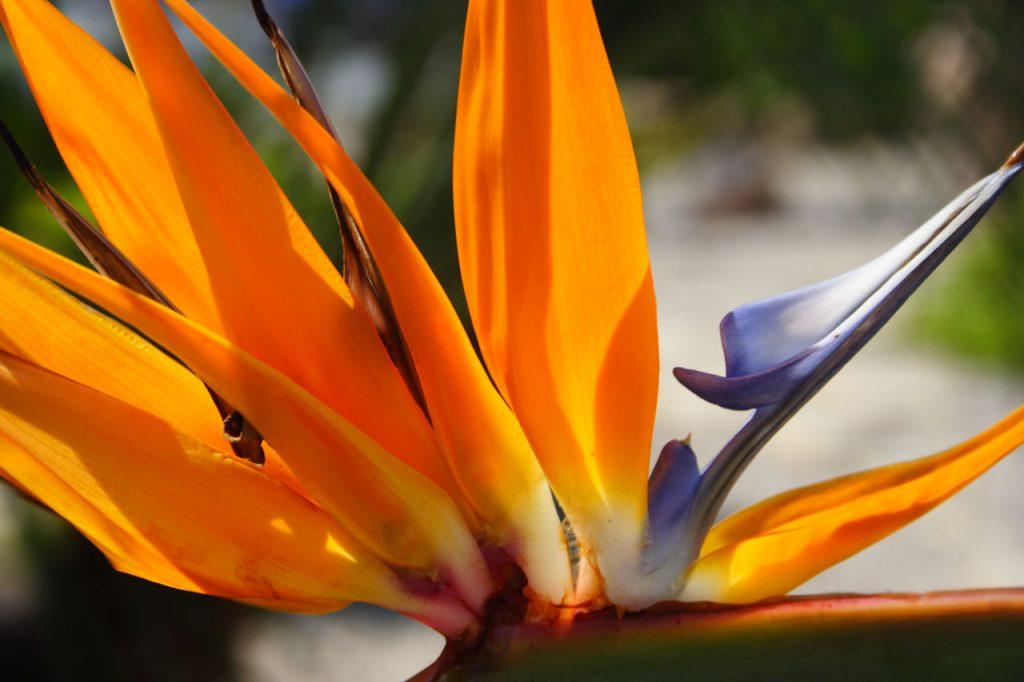 Egzotiškoji karališkoji strelicija – daugiametė gėlė