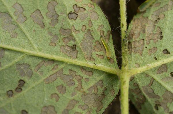 Cheminės priemonės kovojant prieš gėlių ligas