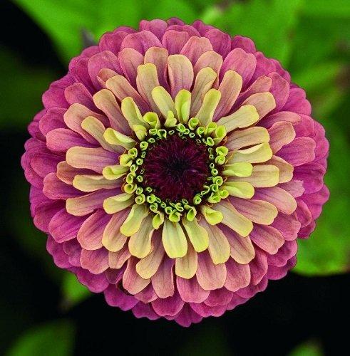 Vienmečių gėlių ligos: Gvaizdunė arba Zinija