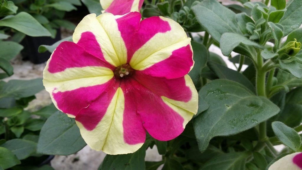 Vienmečių gėlių ligos: Petunija