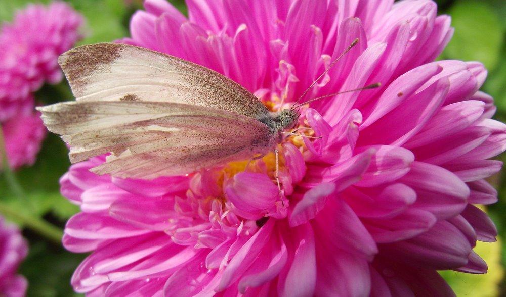 Vienmečių gėlių ligos: Ratiliai (vasarinės astros)