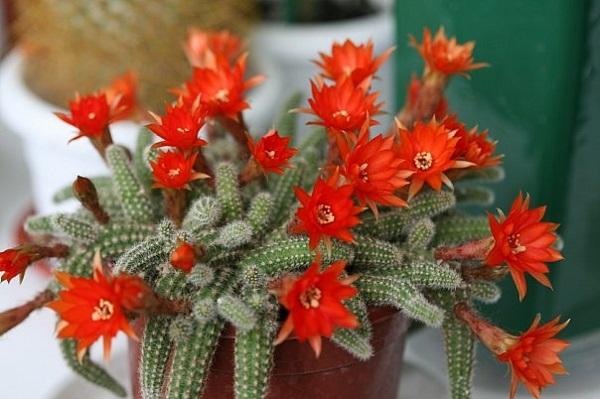 Kaktuso ligos: Helmintosporiozė, Rauplės, Gleosporiozė