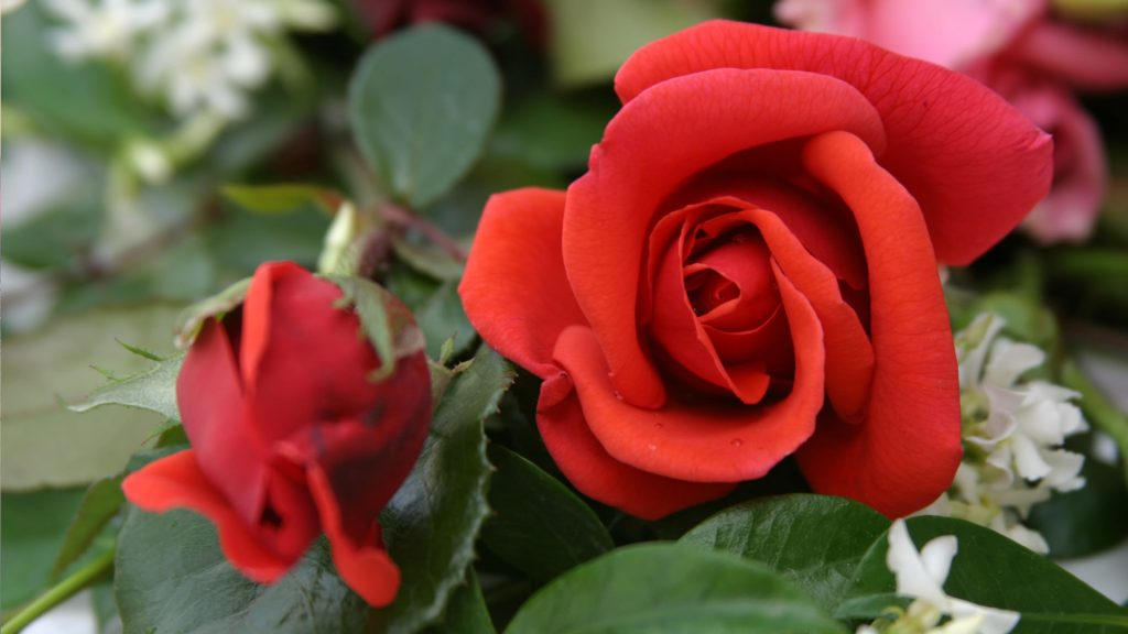 Rožių ligos: Filostiktozė, Dryžligė, Vytulys, Bakterinis vėžys
