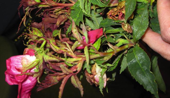Rožių ligos: Degligė, Tikroji miltligė, Rūdys