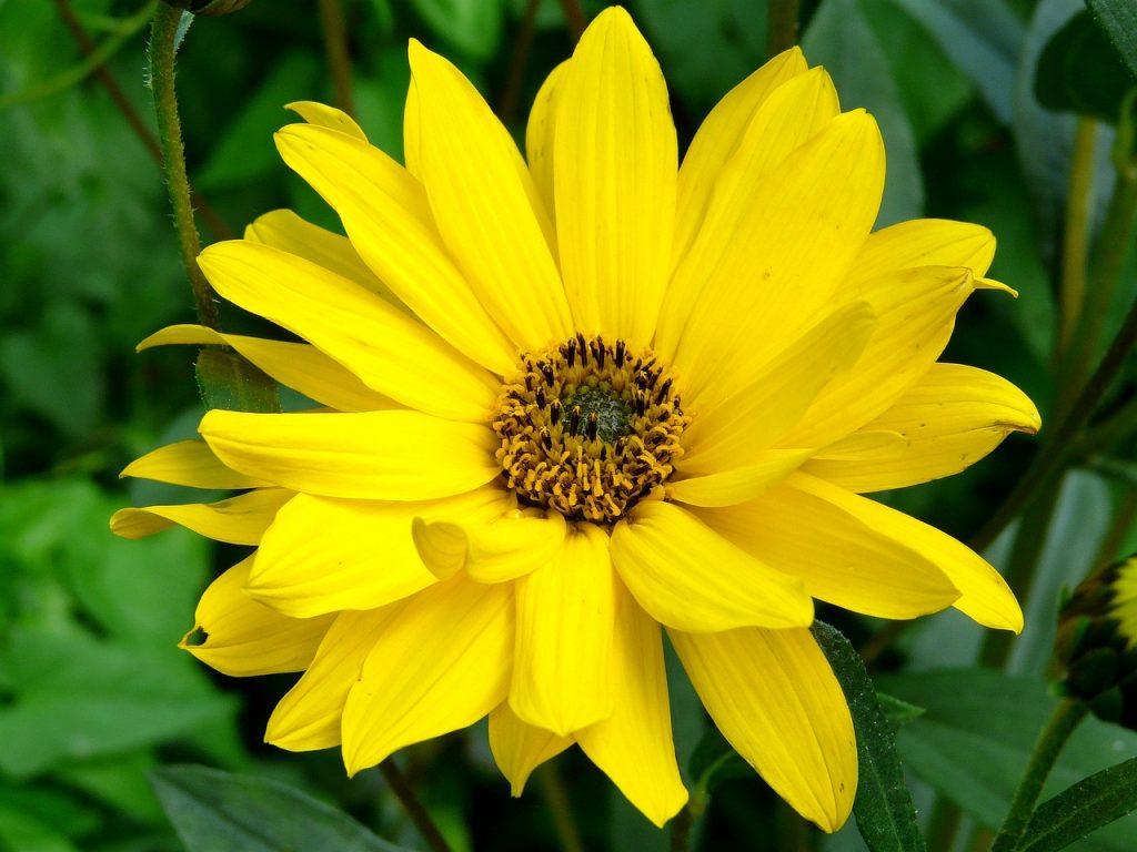 Arnika – daugiametė žolė su geltonais arba oranžiniais graižais