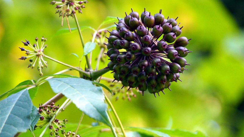 Eleuterokokas  – taigos krūmas su vaisiais