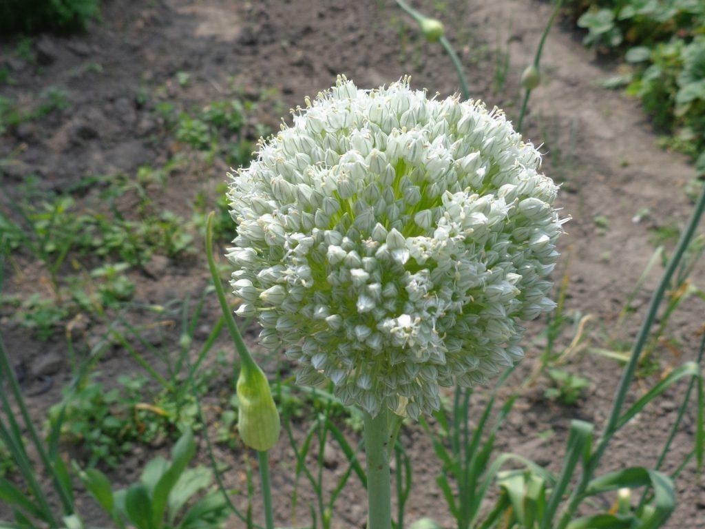 Česnakas – Lelijinių (Liliaceae) šeimos augalas