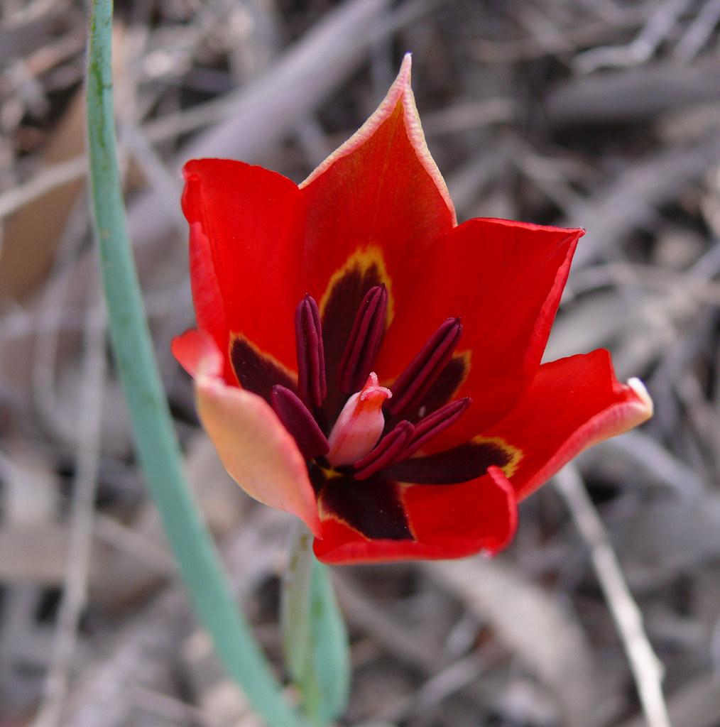Tulpė — daugiametė, žolinė, svogūninė gėlė