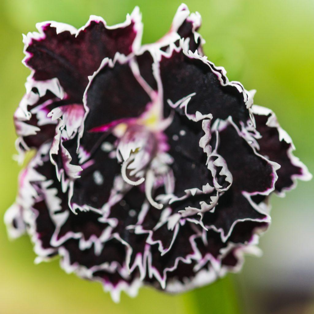 Plunksnuotasis gvazdikas – Daugiametis šakniastiebinis augalas