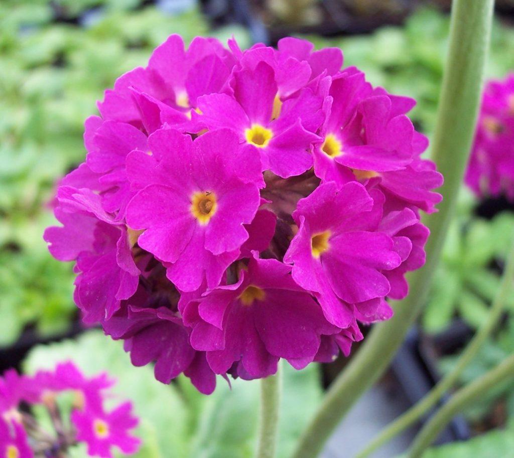 Raktažolė – Raktažolinių šeimos augalas, plačiai auginamas visame Žemės rutulyje
