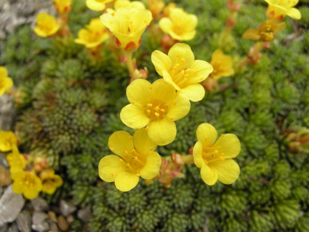 Uolaskėlė – Uolaskėlinių šeimos šakniastiebinis augalas