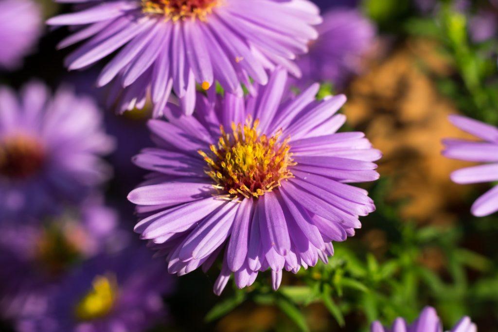 Astras – Graižažiedžių šeimos šakniastiebinė daugiametė gėlė