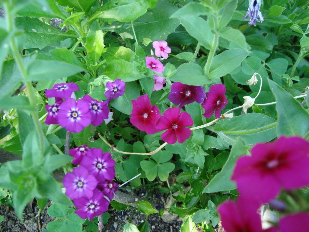 Ylalapis flioksas – palemoninių šeimos augalas