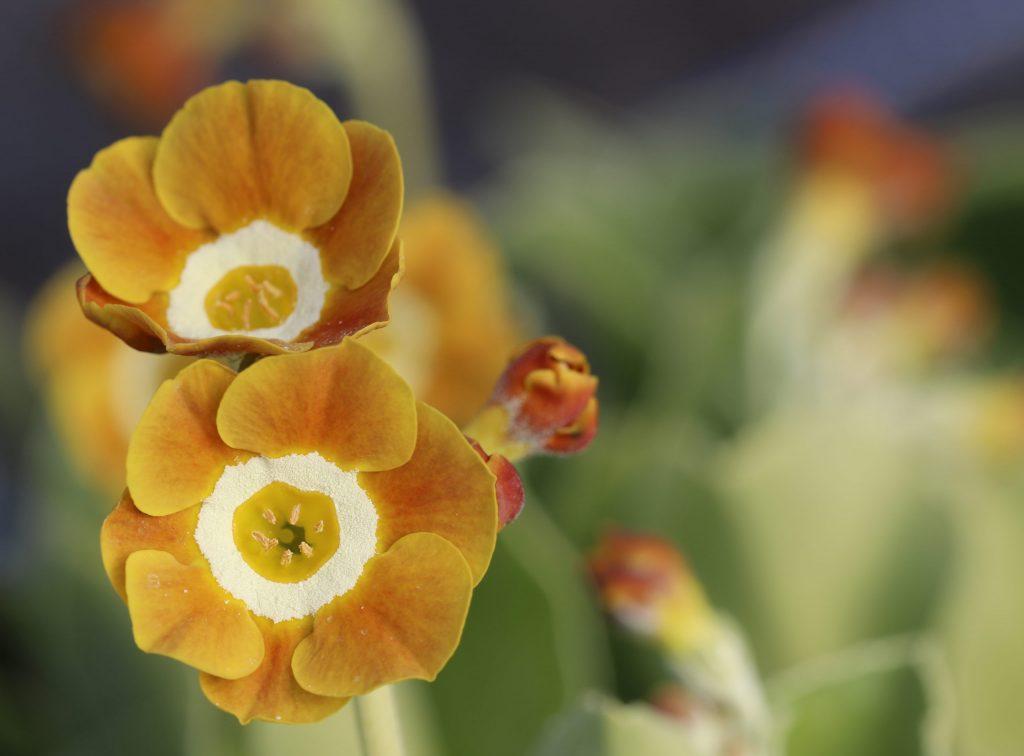 Populiariausios raktažolės – Tibetinė, Voronovo, Julijos